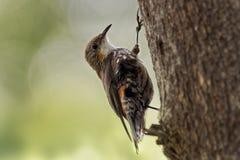 Brown Treecreeper - Climacteris picumnus small bird, largest Australasian treecreeper, endemic to eastern Australia, Cape York, Qu. Eensland, New South Wales stock images