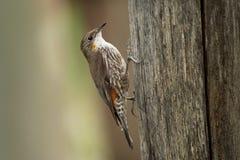 Brown Treecreeper - Climacteris picumnus small bird, largest Australasian treecreeper, endemic to eastern Australia, Cape York, Qu. Eensland, New South Wales royalty free stock image