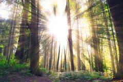 Brown Trees With Sunlight Ray View Royalty Free Stock Photos