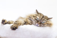 brown tricolor cat into a soft basket Royalty Free Stock Photo