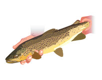 Brown Trout. Illustration of Brown Trout being released Stock Images