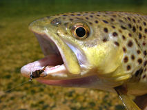 Brown trout. Caught on a prince nymph fly Royalty Free Stock Photos
