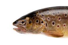 Brown trout. Front end of Brown Trout, Salmo trutta fario Royalty Free Stock Photo