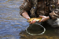 Brown Trout Royalty Free Stock Images