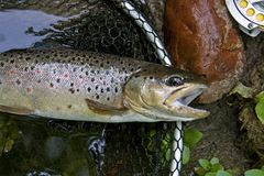 Brown trout Stock Photos