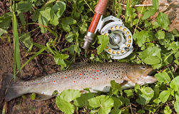 Brown trout. Cought in early poland spring on fly stock images