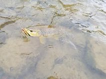 Brown trout. Caught on a streamer fly pattern. Fly fishing Royalty Free Stock Photography