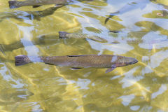 Brown Trout Stock Photography