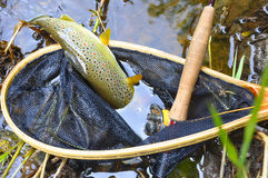 Brown trout in fishing landing net Stock Images
