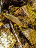 Brown Trout on a Fly. This brown trout was caught and released in a river in Wyoming. The colors and markings on brown trout are one of natures best works Royalty Free Stock Photo