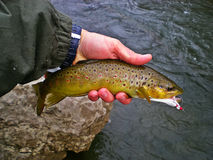 Brown Trout. Fly Fishing for Brown Trout royalty free stock photo