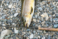 Brown trout and fly rod Stock Photography