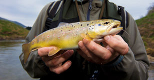 Brown Trout Royalty Free Stock Image