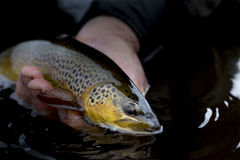 Brown Trout in hand Stock Photo