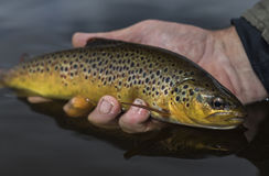 Brown trout handheld Royalty Free Stock Photos