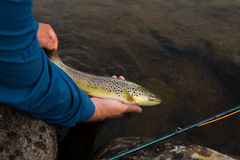 Brown trout in the hands of men Stock Images