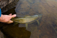 Brown trout in the hands of men Royalty Free Stock Photos
