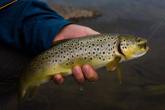 Brown trout in the hands of men royalty free stock images