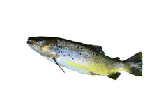 Brown trout isolated Royalty Free Stock Photos