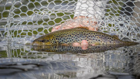 Brown trout in net with reflections Stock Images
