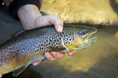 Brown trout portrait royalty free stock image
