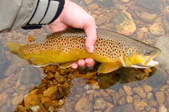 Brown Trout Release Stock Photo
