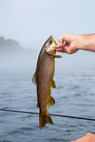 Brown trout on the river. Man in boat royalty free stock photography