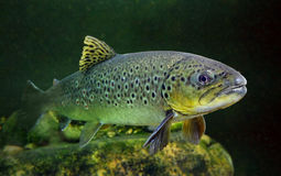 The Brown Trout (Salmo Trutta). Underwater photo of The Brown Trout (Salmo Trutta) in a mountain lake. Close up with shallow DOF royalty free stock photos