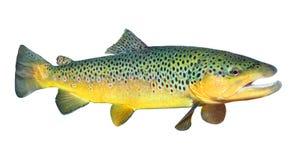 The Brown Trout (Salmo Trutta). The Brown Trout (Salmo Trutta) on a white background Stock Photo