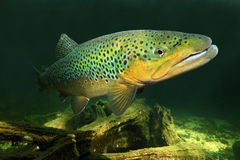 The Brown Trout (Salmo Trutta). Underwater photo of The Brown Trout (Salmo Trutta) in a mountain lake. Close up with shallow DOF royalty free stock photo