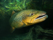 The Brown Trout (Salmo Trutta). royalty free stock image