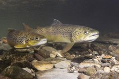 Brown Trout Salmo Trutta Preparing For Spawning Stock Photography