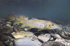 Brown Trout Salmo Trutta Underwater Photography Royalty Free Stock Image