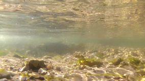 Brown trout in spawning season stock video footage