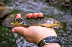 Brown trout from Swedish brook Royalty Free Stock Images