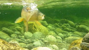 Brown trout underwater. Underwater shot of fighting a large brown trout stock footage