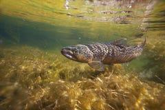 Brown trout underwater in stream