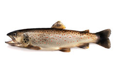 Brown trout Royalty Free Stock Photo