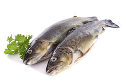 Brown trouts Royalty Free Stock Image