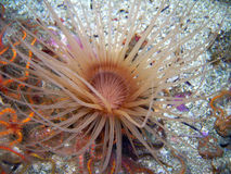 Brown Tube-dwelling Anemone Stock Image