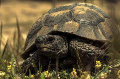 Brown turtle Stock Images