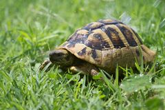 Brown turtle creeps on green grass summer. Brown turtle creeps on green grass sunny summer afternoon Royalty Free Stock Photos