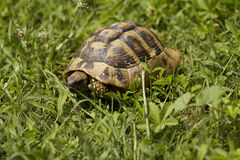 Brown turtle creeps on green grass sunny summer. Afternoon. Green Stock Image