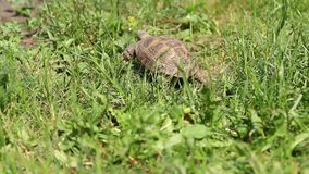 Brown turtle moving through the scene on green grass stock video footage