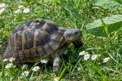 Turtle running through sunlit green meadow with flowers Stock Photography