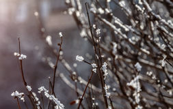 Brown twigs with hoar. Brown twigs in bushes covered with hoarfrost Stock Images