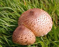 A brown twin fungus Stock Images