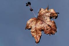 Brown ulistnienia liść w wodzie Fotografia Stock