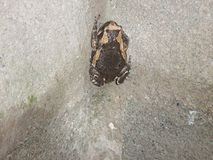 Brown und beige Kröte haftet einer Betonblockwand an Lizenzfreie Stockfotografie