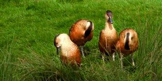 Brown und beschmutzte Enten lizenzfreie stockbilder